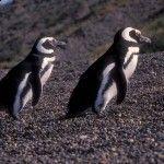JEAL0186 Magellanic Penguin Spheniscus magellanicus Chubut Patagonia
