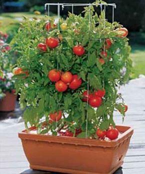 tomate en maseta