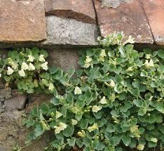 Asarina procumbens planta cubertora para sombra