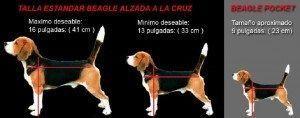 Tamaño beagle