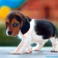 beagle pequeño