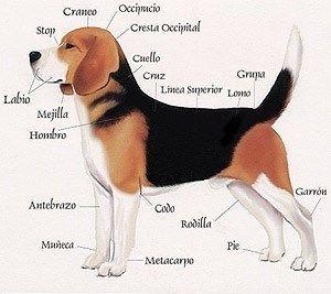 fisico del beagle
