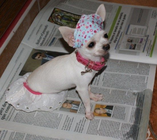 cachorro chihuahua papel de periodico
