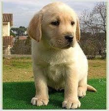 cachorro raza labrador