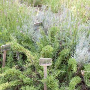plantar aroamticas en el jardin