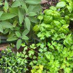 Plantas aromáticas Para plantar en casa