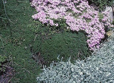 plantas tapizantes cobertoras