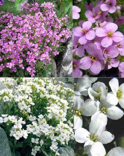 arabis planta rastrera con flor