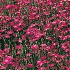 Clavelina planta rastrera con flor casa web - Plantas perennes exterior ...