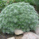Artemisia, Ajenjo o Absintio