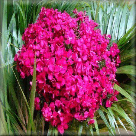 clavelina planta tapizante