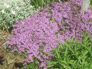 Alborada planta rastrera con flor
