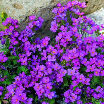 arabis planta rastrera purpura