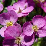 arabis purpura