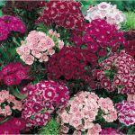 Clavelina, planta rastrera con flor