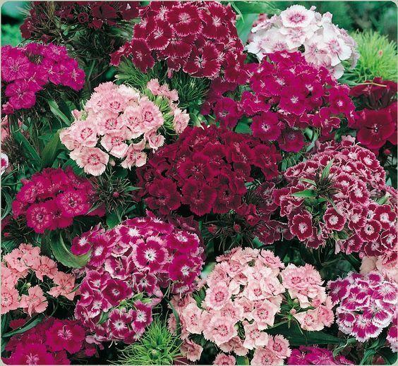 colores de clavelina