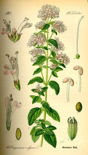 flor del oregano