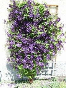 Plantar trepadoras con flor