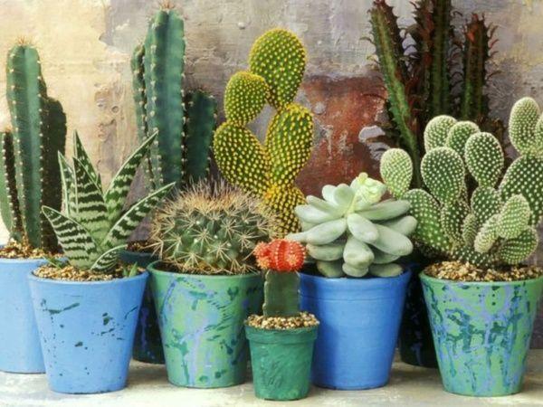 cactus y suculentas en macetas