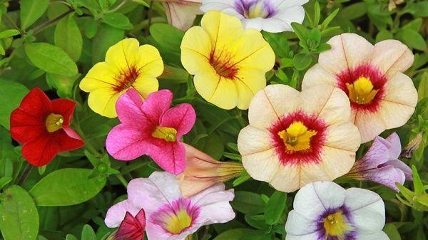 colores de petunias