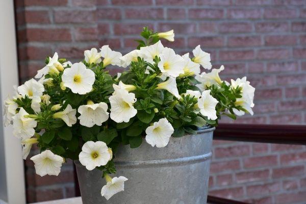 decorar con petunias blancas