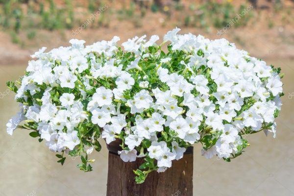 petunias blancas colgantes