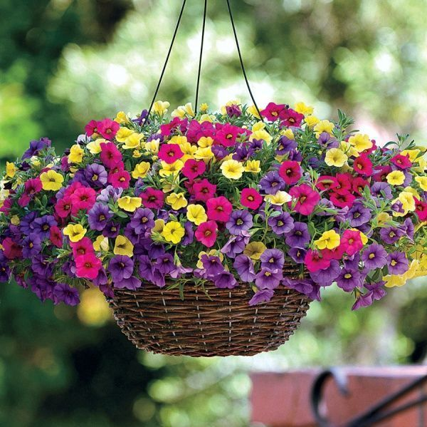 petunias colgantes multicolor