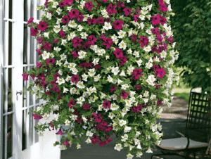 petunias colgates para decorar galerias