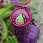 planta carnivora comiendo