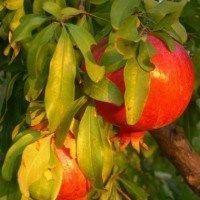 Arboles de granada que puedes plantar