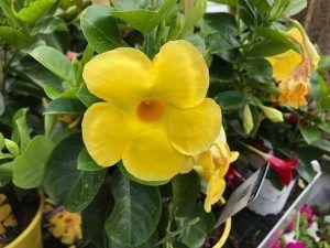 jazmin de brasil amarillo