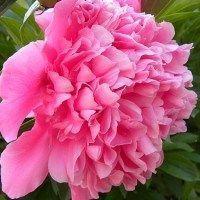 Planta esta planta en tu jardín, paeonia lactiflora