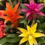colores de flores de guzmania