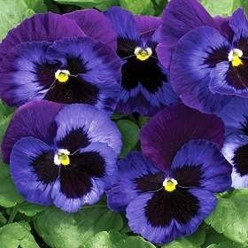 violeta pensamiento