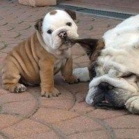 Bulldog puppy biting an ear.