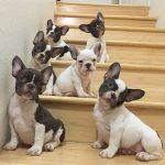 cachorros buldogs
