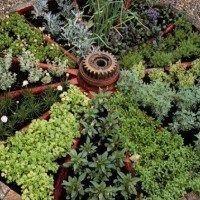 plantas aromaticas en el jardin