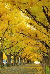 Ginkgo arbol otoño