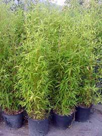 bambú del Japón
