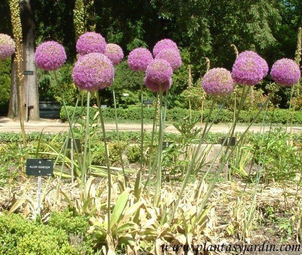 Allium-giganteum