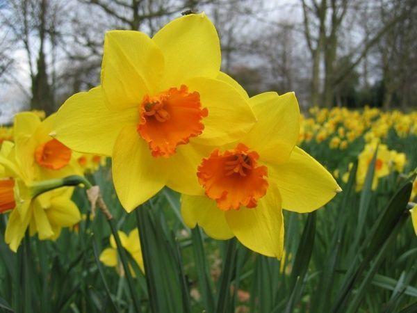 Narcisos amarillos