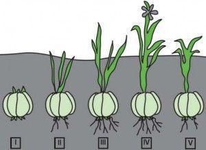 cultivo de planta bulbosa
