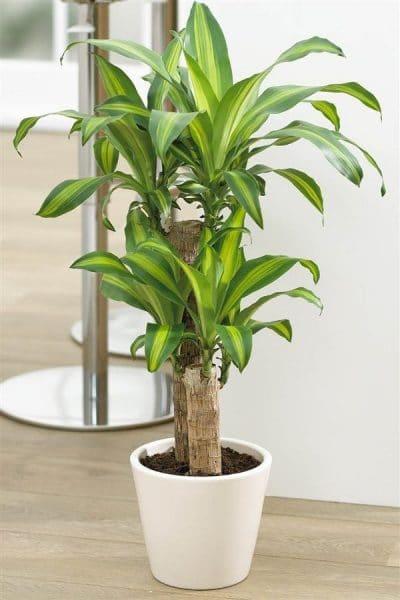 Decorar con plantas en el interior tronco de brasil casa web - Plantas resistentes de interior ...