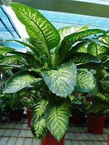 Dieffenbachia planta ornamental de interior