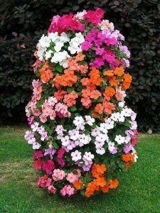 Impatiens planta ornamental con flor anual