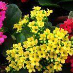 Plantas suculentas o crasas con flor