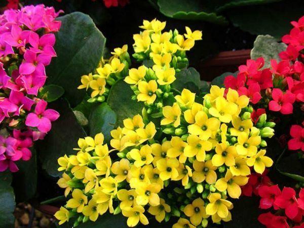 Kalanchoe blossfeldiana suculenta con flor
