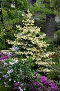 coniferas pino ornamental