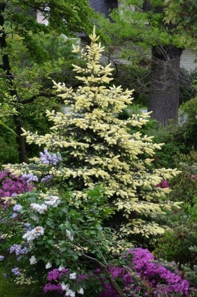 coniferas - pino ornamental