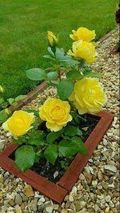 decoracion con rosas amarillas en el jardin